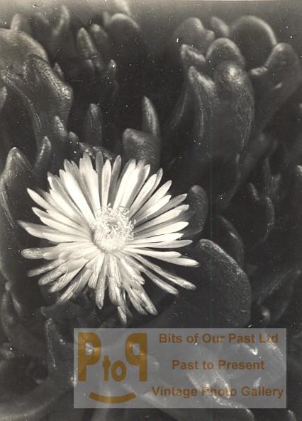 plant cactus study composition france snapshot 1935. Black Bedroom Furniture Sets. Home Design Ideas