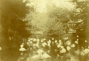 Flamingo Zoological Garden Unidentified Place France Old Photo CDV 1890