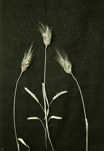 Ears of Corn Composition Study Science Old Photo Jean Choain 1950