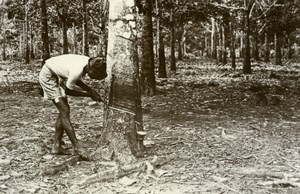 Indonesia Sumatra Island Hevea Harvest Rubber Tree Amateur Photo Snapshot 1935