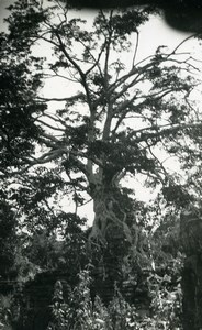 Cambodia Angkor Wat Vat Archaeological Site Tree Old Amateur Snapshot Photo 1934