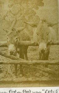 United Kingdom Donkeys Not the fist who stood for their Carts Old CDV Photo 1870