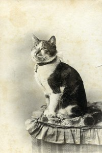 France Cat with Necklace & Bell Old Photo CDV 1890