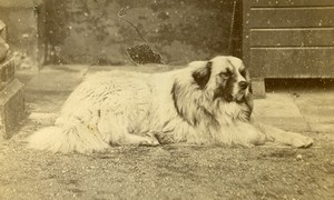 France Dog Portrait Old CDV Photo circa 1870