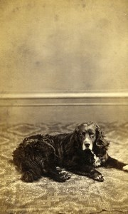 United Kingdom Norwich Dog Portrait Old CDV Photo Beales 1870