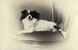 United Kingdom Exeter Pekingese? Dog Portrait Old CDV Photo De Niceville 1870
