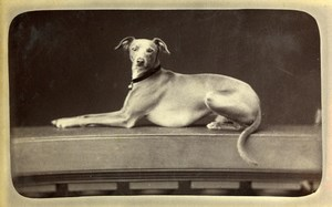 France Paris Greyhound? Dog Portrait Old CDV Photo Gevrey 1880