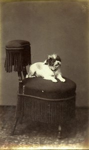 France Paris Small Dog on a Chair Portrait Old CDV Photo Gevrey 1880