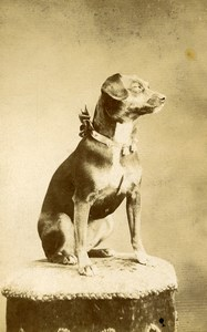France Rouen Posing Dog Portrait Old CDV Photo circa 1900