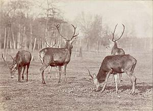 Deer herd in nature study Ottomar Anschutz Photo 1889