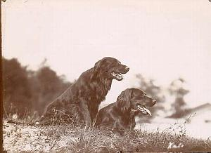 2 dogs study old Photograph 1880
