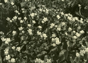 Frane Flowers Photographic study Nature old Knecht Photo 1930