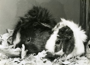 Guinea Pigs Study, France Old Photo Jean Tourane 1960'