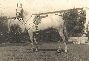 Race Horse  & saddle France old amateur Photo 1910'
