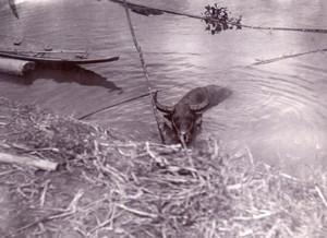 Borneo Island Samarinda Mahakam Buffalo old Photo 1920'