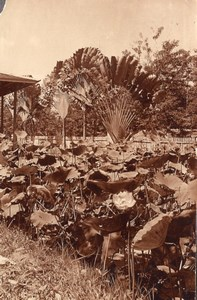 Borneo Island Samarinda Garden Flowers old Photo 1920'