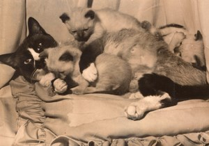 Siamese Cats Exhibition Paris France old Photo 1956