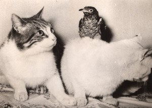 Hamburg Germany Hungry Cats & Bird old Photo 1954'