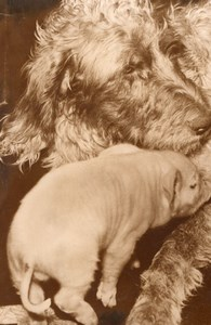 Piglet pig suckling Setter Dog France old Photo 1954