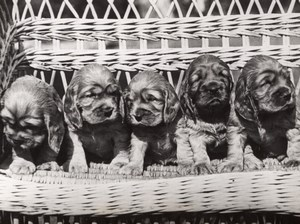 Five Young Cocker Dogs London Exhibition old Photo 1952
