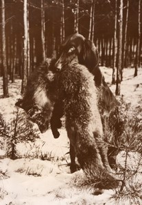 Winter Hunt Dog Fox Trophy France old Photo 1954