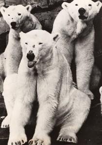 Polar Bears Highland Park Zoo Pittsburgh old Photo 1958