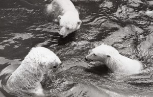 Bears Life Vincennes Zoo France old Photo 1954