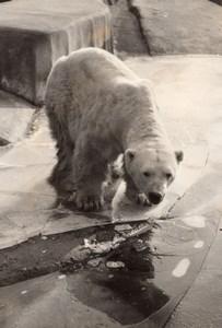 Polar Bear Life Vincennes Zoo Ours Blanc France old Photo 1956