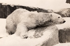 Polar Bear Life Vincennes Zoo Ours Blanc France old Photo 1955