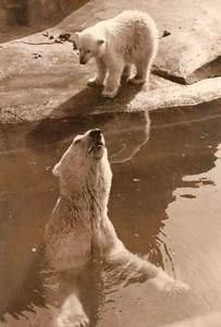 Polar Bear Cub Life Vincennes Zoo Ours Blanc France old Photo 1956