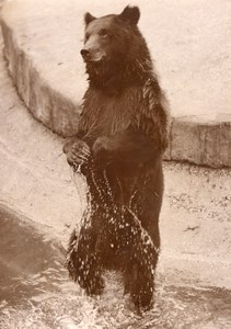 Summer Bears Life Vincennes Zoo France old Photo 1952