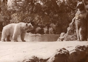Polar Bears Life Vincennes Zoo Ours Blanc France old Photo 1952