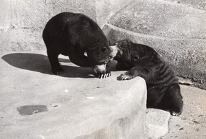 Spring Bears Life Vincennes Zoo France old Photo 1953