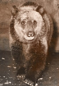 Grizzly Bear Life Vincennes Zoo France old Photo 1953