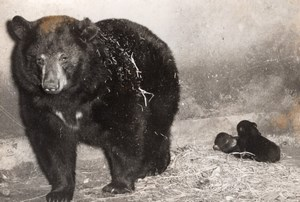 American Baribal Bear Birth Vincennes Zoo Photo 1953