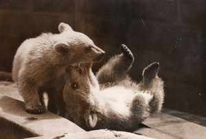 Playful White Bear Cubs London Zoo England Photo 1958