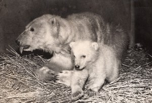 Polar Bear Cub Life Vincennes Zoo Ours Blanc France old Photo 1955