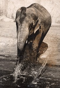 Elephant Life Vincennes Zoo France old Photo 1955