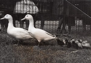 Duck Family at Daumesnil Park France old Photo 1955