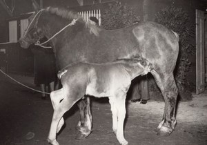 Horse & colt Agricultural Fair France old Photo 1955