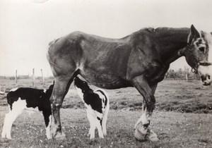 Netherlands Betuwe Mare feeding Calf old Photo 1957