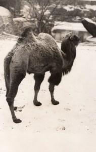 Winter Snow Camel Zoological Park Paris old Photo 1954