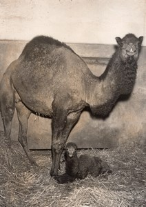 Camel Birth Family Zoological Park Paris old Photo 1953