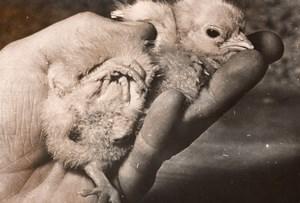 Freak 4 legged Chicken Chick France old Photo 1954