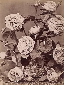 Rose Cambaceres Flower Still Life Study Old Photo 1880