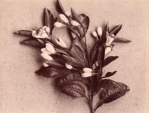 Orange Flower Citrus Still Life Study France Photo 1880