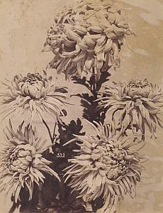 Chrysanthemum Flower Still Life Study Old Photo 1880