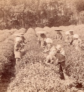 Picking Uji Tea near Kyoto Japan old Stereo Photo 1895
