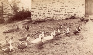 Duck family & Chicken Farm Study France old Photo 1870