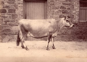 Cow Catle Study on Jersey Island farm old Photo 1880